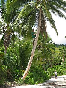 coconuts are known in Fiji as 'the tree of life'